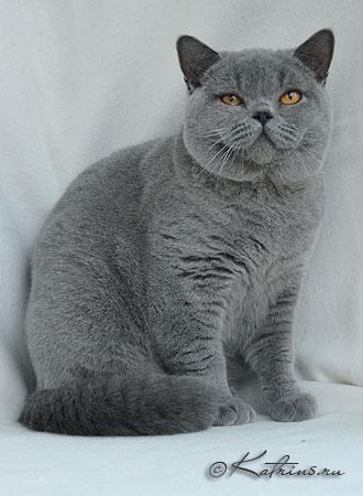Британский кот 9 месяцев